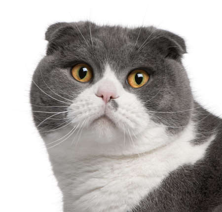 Close-up of Scottish Fold cat, 1 year old, in front of white background photo
