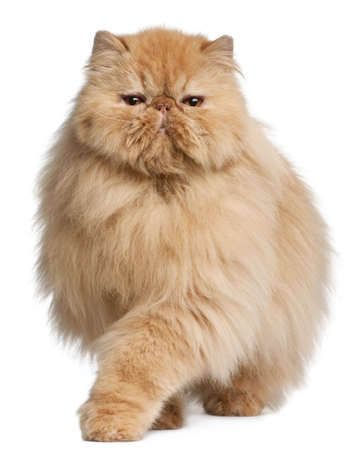 persian cat: Persian cat, 3 years old, in front of white background Stock Photo