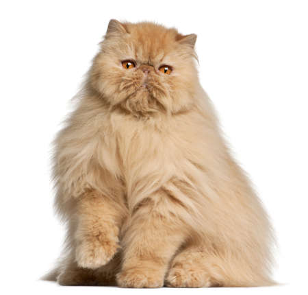 kitten: Persian cat, 3 years old, in front of white background Stock Photo