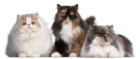 kotów: Perski kotów z przodu biaÅ'e tÅ'o