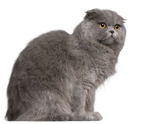 Scottish Fold cat, 11 months old, in front of white background photo