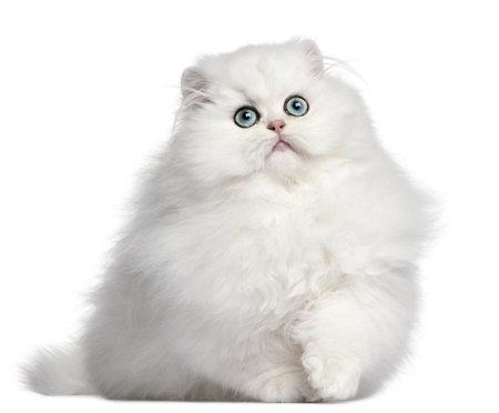 fluffy: Gatito persa, 4 meses de edad, de fondo blanco