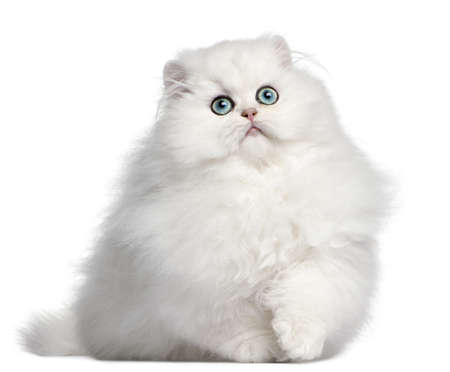 fluffy: Persian kitten, 4 months old, in front of white background