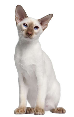 siamese cat: Siamese kitten, 5 months old, in front of white background Stock Photo