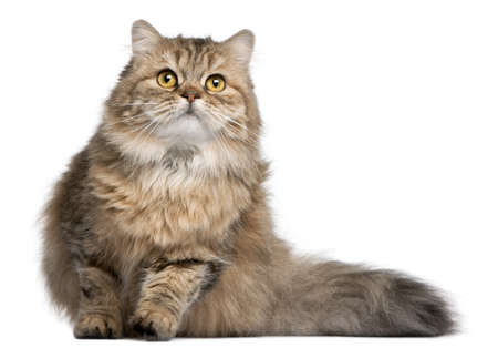 fluffy: British Longhair cat, 1 year old, in front of white background