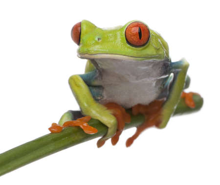 Red-eyed Tree Frog, Agalychnis callidryas, in front of white background photo