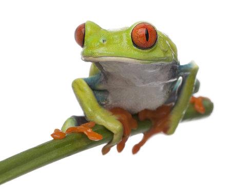 callidryas: Red-eyed Tree Frog, Agalychnis callidryas, in front of white background