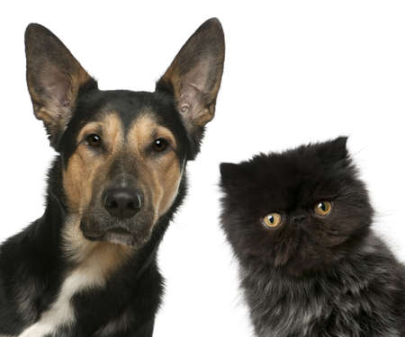 Persian kitten and a Mixed-breed dog in front of white background photo