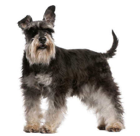 Miniature Schnauzer, 6 years old, standing in front of white background photo