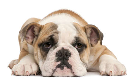 english bulldog: English bulldog puppy, 4 months old, lying in front of white background Stock Photo