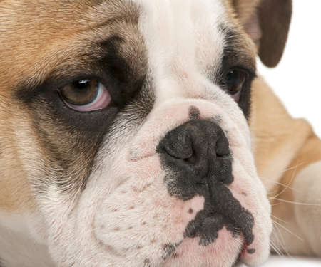Close-up of English bulldog puppy, 4 months old, in front of white background photo