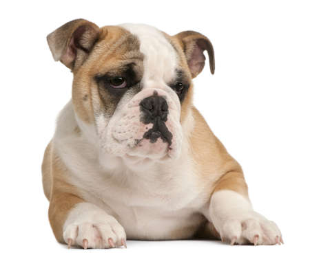 english bulldog puppy: English bulldog puppy, 4 months old, lying in front of white background Stock Photo