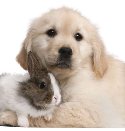 Close-up of Golden Retriever puppy, 20 weeks old, and a rabbit in front of white background photo