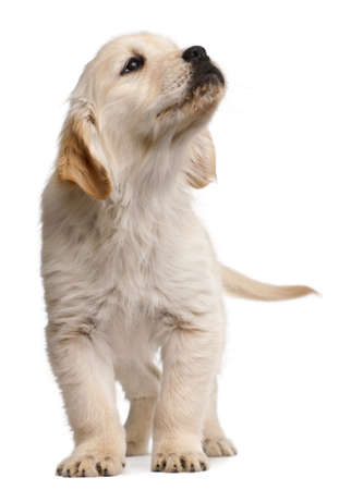 furry tail: Golden Retriever puppy, 20 weeks old, standing in front of white background