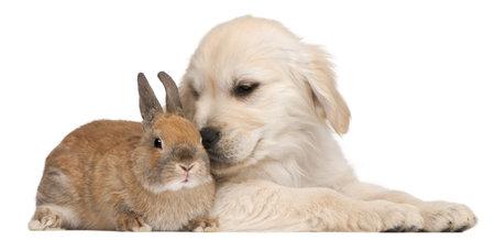 lapin blanc: Golden chiot de Retriever, 20 semaines et un lapin en face de fond blanc Banque d'images