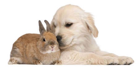 Golden Retriever puppy, 20 weeks old, and a rabbit in front of white background photo