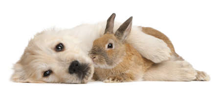 Golden Retriever puppy, 20 weeks old, and a rabbit lying in front of white background photo