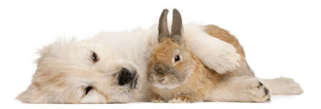 cute rabbit: Golden Retriever puppy, 20 weeks old, and a rabbit lying in front of white background Stock Photo