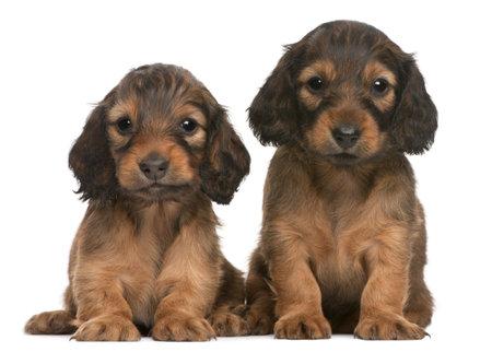 compa�erismo: Cachorros Puppy, 5 semanas de edad, sentado en frente de fondo blanco