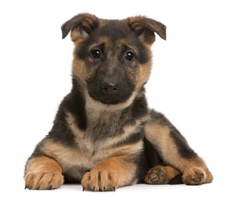 German Shepherd puppy, 3 months old, lying in front of white background Stock Photo - 9151420