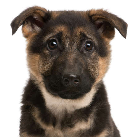 Close-up of German Shepherd puppy, 3 months old, in front of white background Stock Photo - 9151426