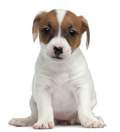 Jack Russell Terrier puppy, 7 weeks old, sitting in front of white background photo