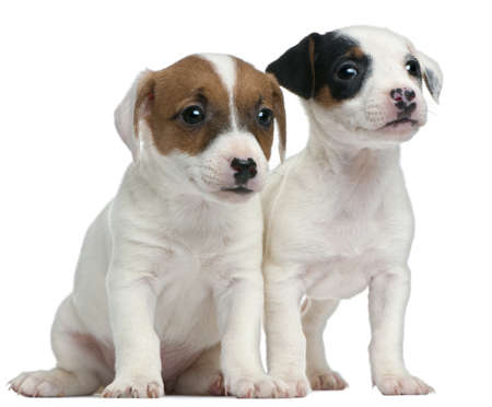 Jack Russell Terrier puppies, 7 weeks old, sitting in front of white background photo