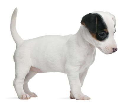 Jack Russell Terrier puppy, 7 weeks old, standing in front of white background photo