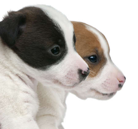 Close-up of Jack Russell Terrier puppies, 5 weeks old, in front of white background photo