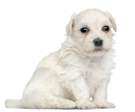 chien: Löwchen or Petit Chien Lion puppy, 3 weeks old, sitting in front of white background
