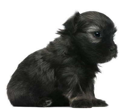 chien:  Petit Chien Lion puppy, 3 weeks old, sitting in front of white background