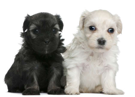Petit Chien Lion puppies, 3 weeks old, sitting in front of white background photo