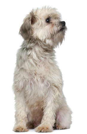 chien: Petit Chien Lion, 3 years old, sitting in front of white background Stock Photo