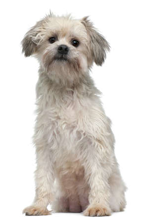 chien: Löwchen or Petit Chien Lion, 3 years old, sitting in front of white background Stock Photo