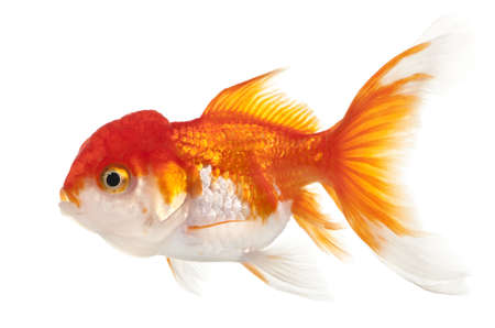 lionhead: Lionhead goldfish, Carassius auratus, in front of white background