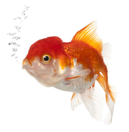 Lionhead goldfish, Carassius auratus, in front of white background Stock Photo - 9151288
