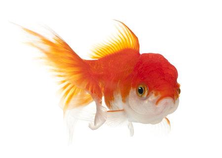Lionhead goldfish, Carassius auratus, in front of white background photo
