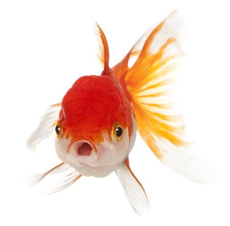 peces de colores: Lionhead pececito, Carassius auratus, de fondo blanco Foto de archivo