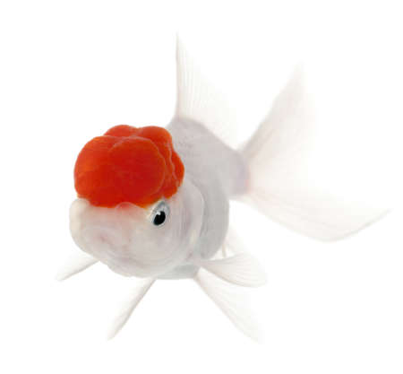 Lionhead goldfish, Carassius auratus, in front of white background Stock Photo - 9161862