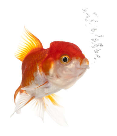 Lionhead goldfish, Carassius auratus, in front of white background Stock Photo - 9161871
