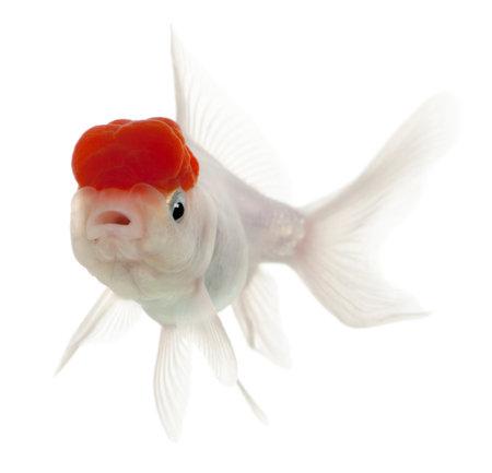 złota rybka: Lionhead goldfish, zÅ'ocisty Carassius, z przodu biaÅ'e tÅ'o
