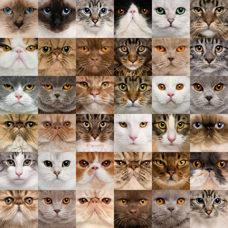 maine cat: Collage of 36 cat heads