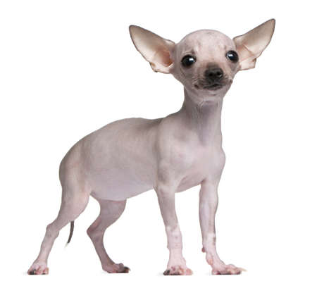 hairless: Hairless Chihuahua, 5 months old, standing in front of white background