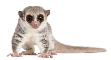 primate: Fat-tailed Dwarf Lemur, Cheirogaleus medius, 11 years old, in front of white background