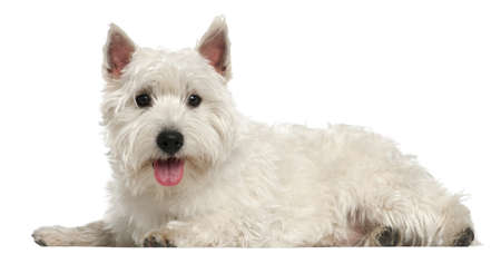 West Highland White Terrier, 10 months old, lying in front of white background photo