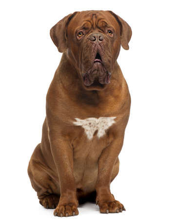 dog sitting: Dogue de Bordeaux, 20 months old, sitting in front of white background
