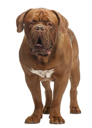 dogue: Dogue de Bordeaux, 20 months old, standing in front of white background