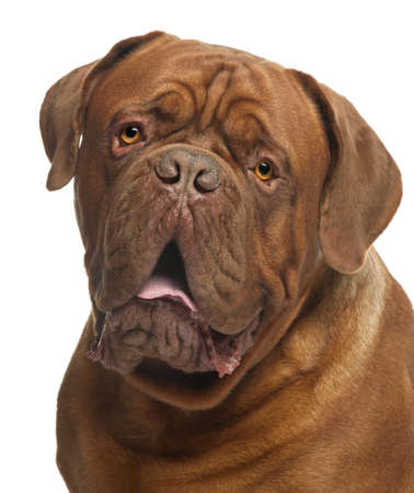 Close-up of Dogue de Bordeaux, 20 months old, in front of white background photo