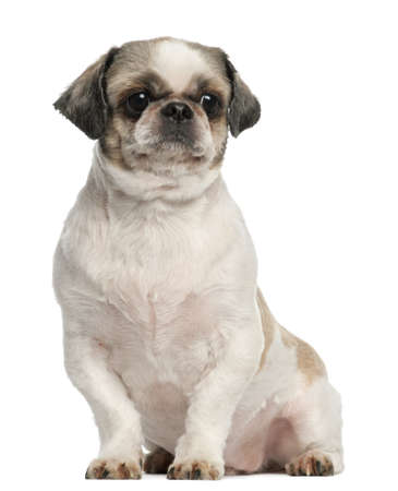 Shih Tzu, 8 years old, sitting in front of white background photo