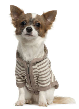 Chihuahua wearing striped jacket, 11 months old, sitting in front of white background